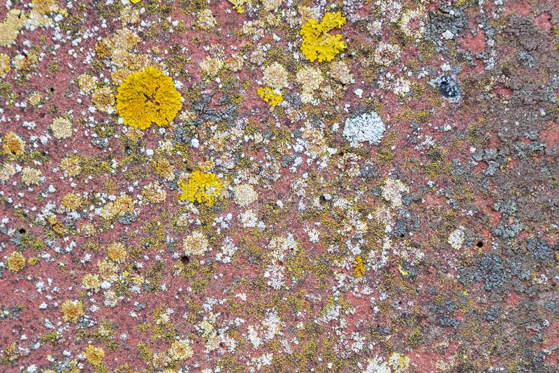 Parietina Xanthoria, elegans, оранжевый лишайник, желтый масштаб, морской sunburst лишайник и лишайник берега на каменной стене стоковое фото rf