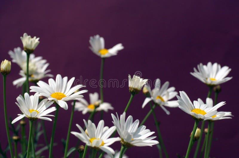 Paris daisy or daisy Marguerite royalty free stock photo