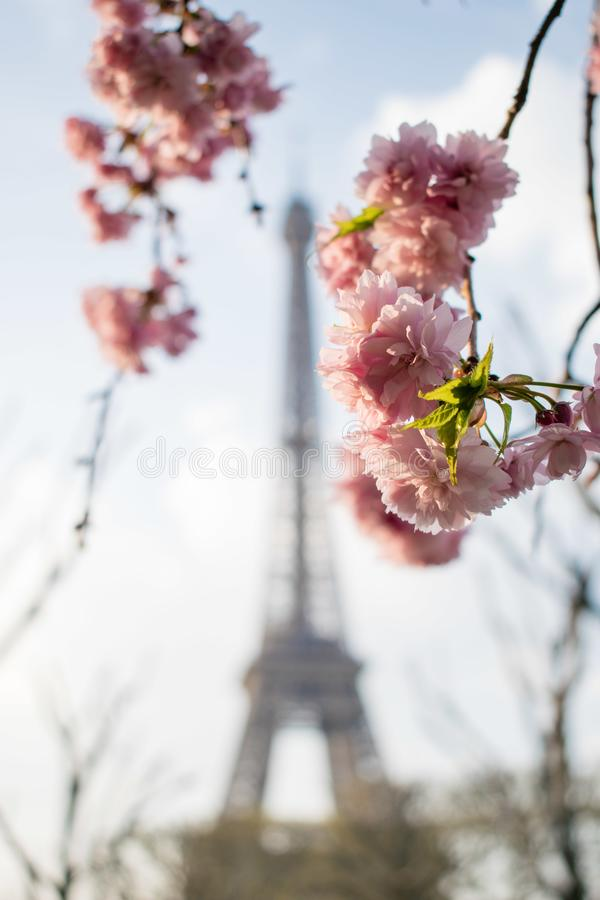 Paris, France - April 1, 2019: Eiffel Tower in pink flowers at spring day. Wild cherry royalty free stock image