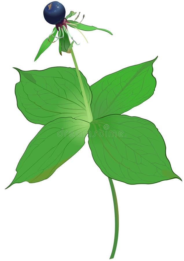 paris quadrifolia 库存照片