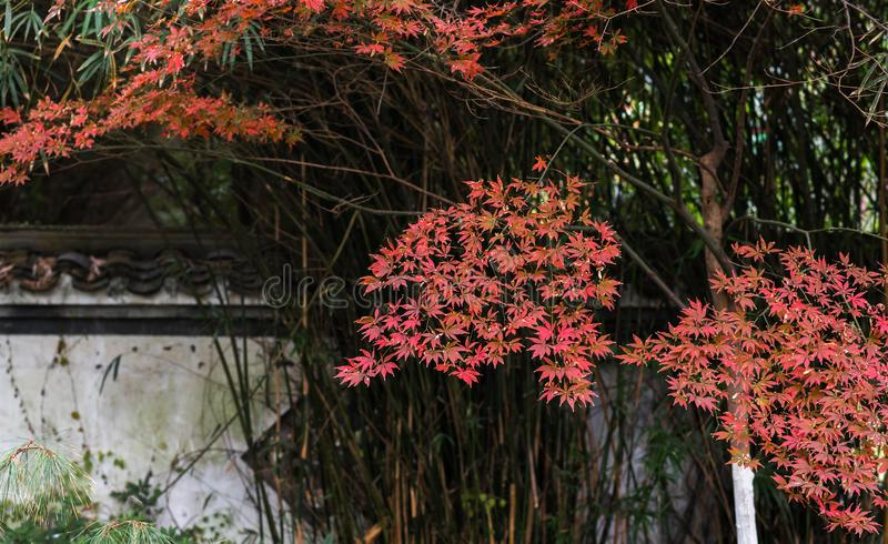 Red leaf-Acer palmatum. In the park, Acer palmatum red leaves, the taste of autumn royalty free stock image