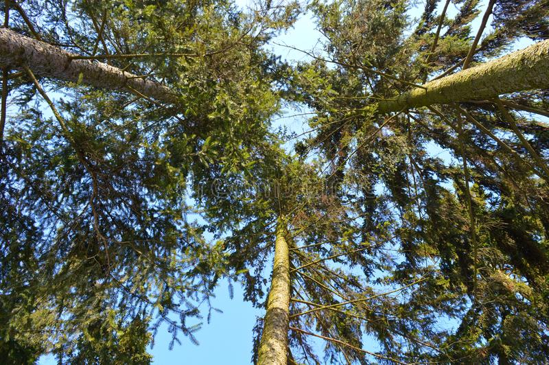 Park.Beautiful old fir trees stock images