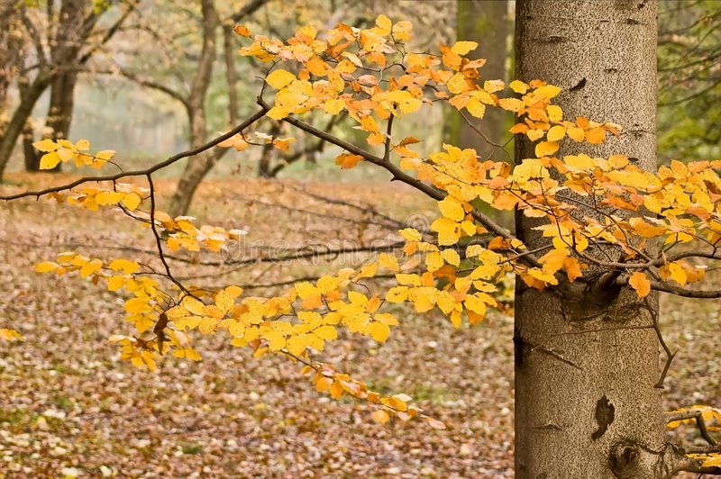 Park - beeches royalty free stock image