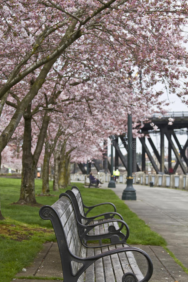 Download Park Bench at Spring Time stock photo. Image of cherry - 13352536