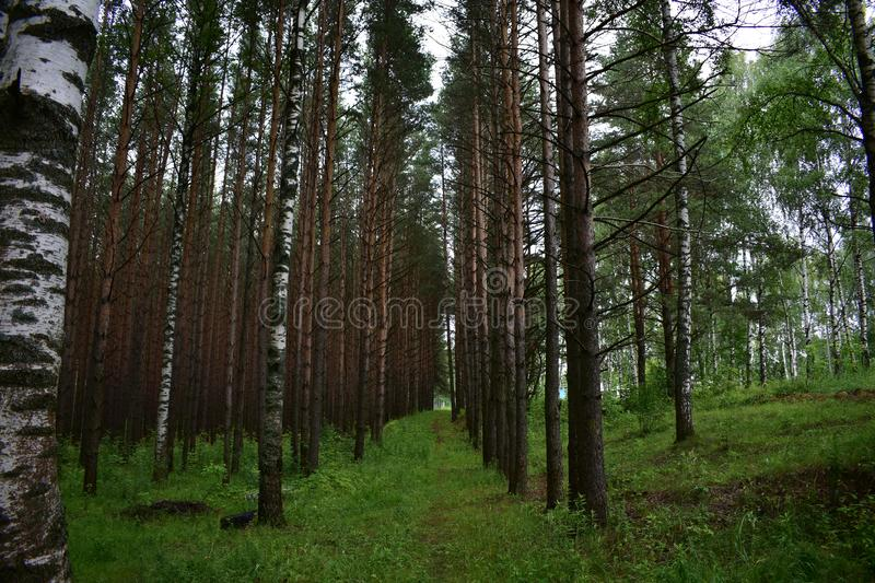 Park birch grove pine forest slender high coniferous and deciduous trees stock images