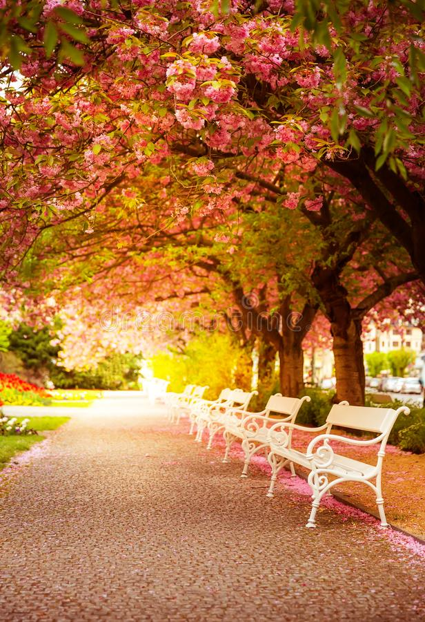 Park with blossom sakura, flower lawn and benches royalty free stock photos