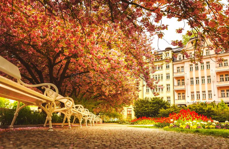 Park with blossom sakura, flower lawn and benches stock photo
