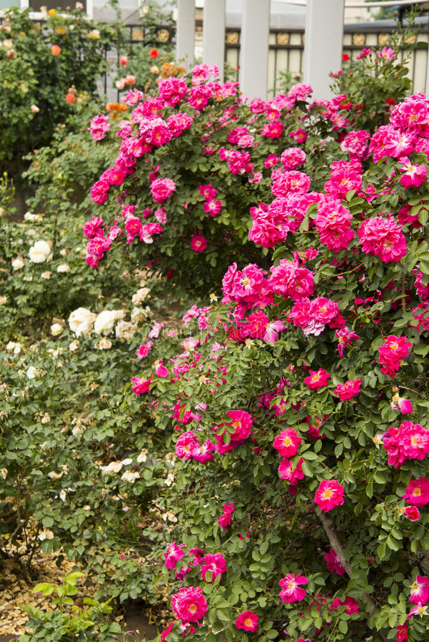 The park flowers, rose stock image