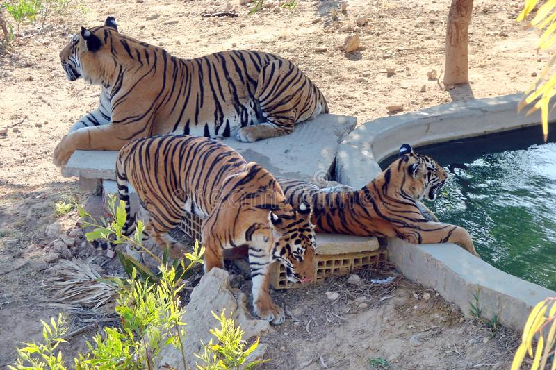Park Frigas Tunisia. The beauty of wildlife in natural conditions. The family of African tigers hid from the hot sun under the shade of trees, and enjoyed stock photo