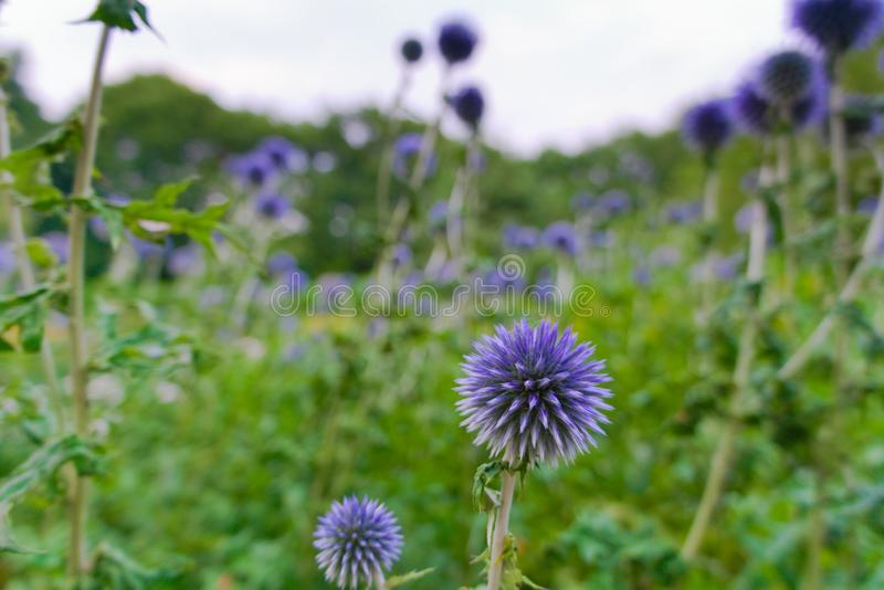 Beautiful blue flowers blooming in the summer sun stock image