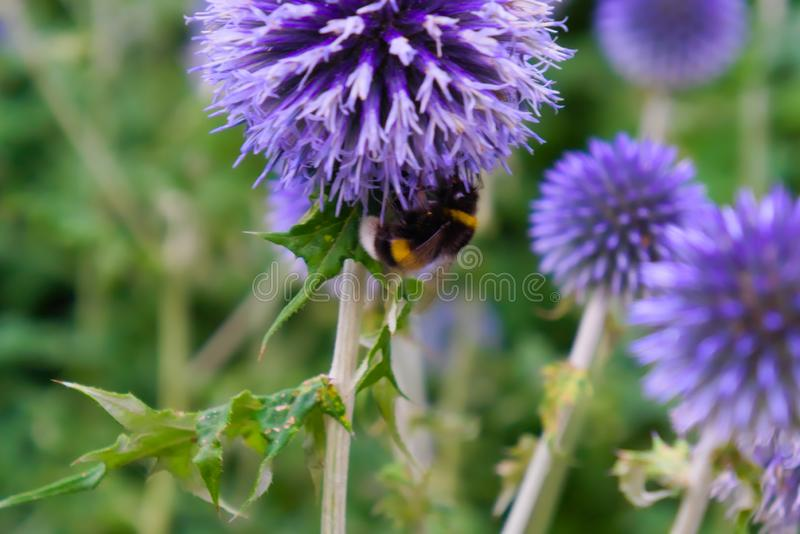 Beautiful blue flowers blooming in the summer sun with a bumble bee collecting pollen royalty free stock photos