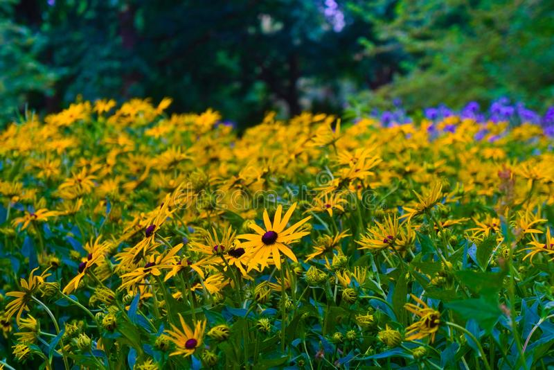 Beautiful yellow flowers blooming in the summer sun royalty free stock photos