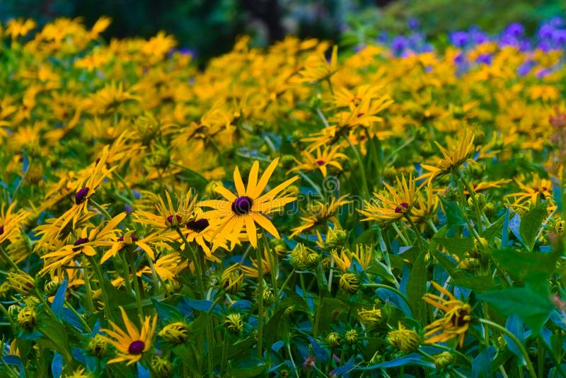 Beautiful yellow flowers blooming in the summer sun royalty free stock images