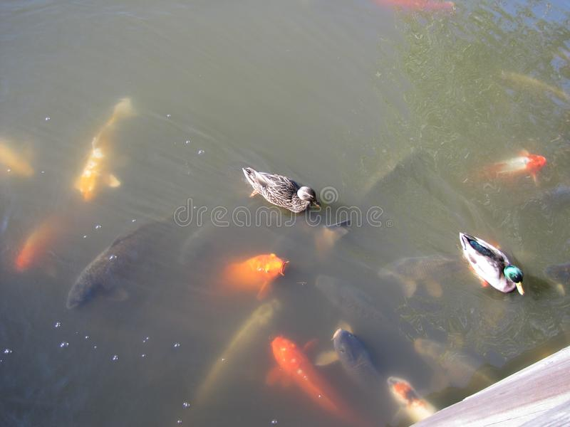 Hungry ducks and fish compete for the food stock photo