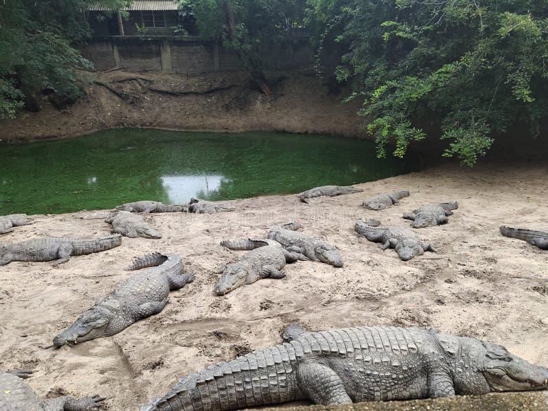 Park, krokodil en wildernis stock afbeelding