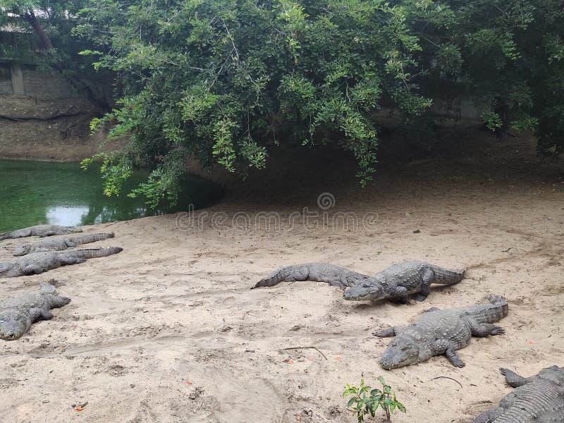 Park, krokodil en wildernis stock foto