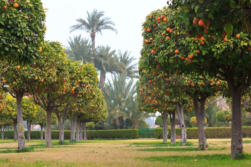Park mit Orangenbäumen lizenzfreies stockfoto