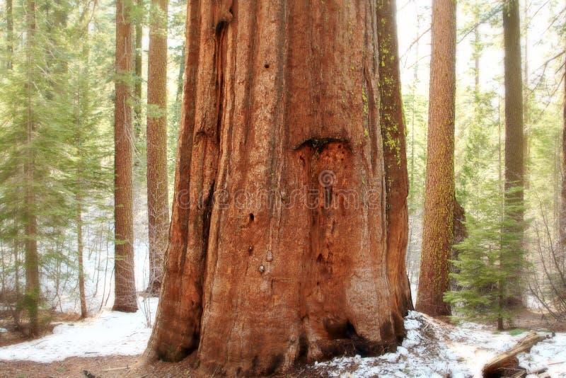 park narodowy gigantyczne sekwoje Yosemite fotografia stock