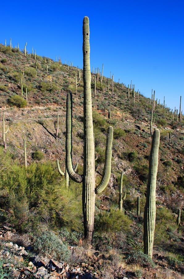 park narodowy gigantyczny saguaro zdjęcie stock
