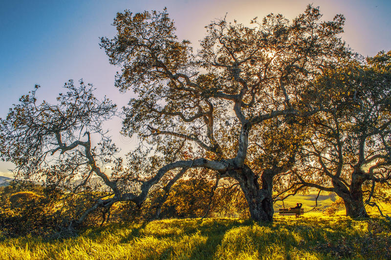 Park in Northern California. View of big tree in Helen Putnam Regional Park in the town of Petaluma in Northern California stock image