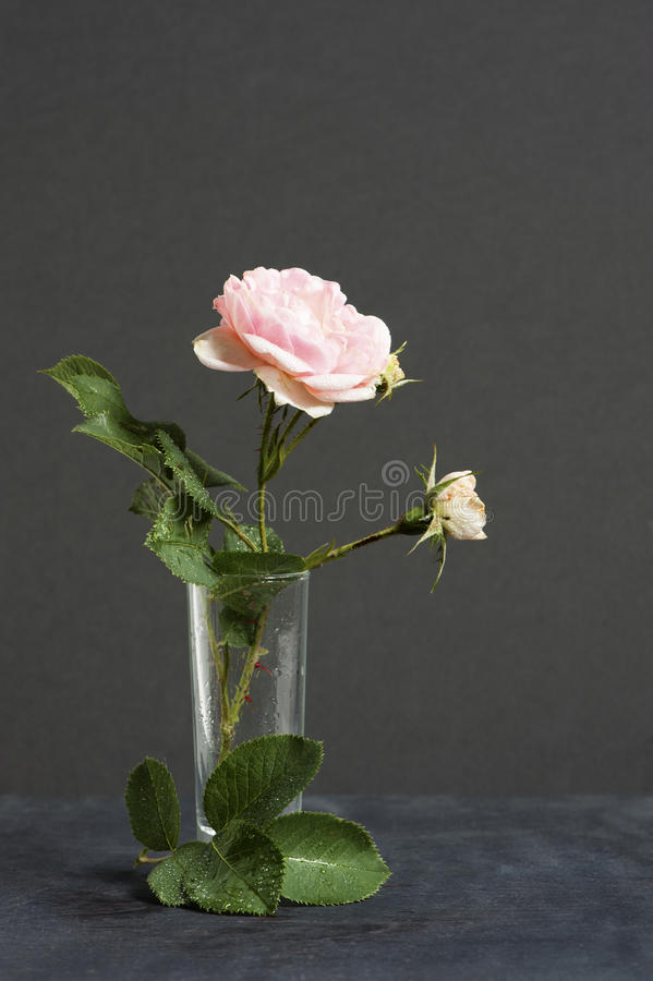 Free Park Pink Rose In The Vase On The Dark Background Stock Image - 56326741