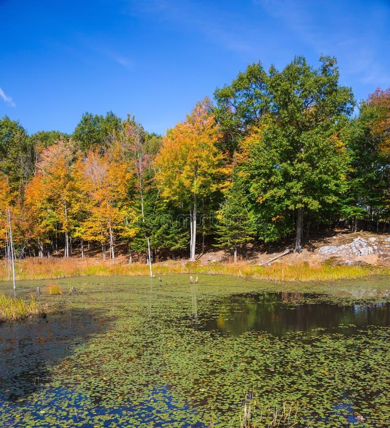 Park - Safari in Canada. Bright orange autumn in park - safari in Canada. Adorable little swamp overgrown with water plants stock photo