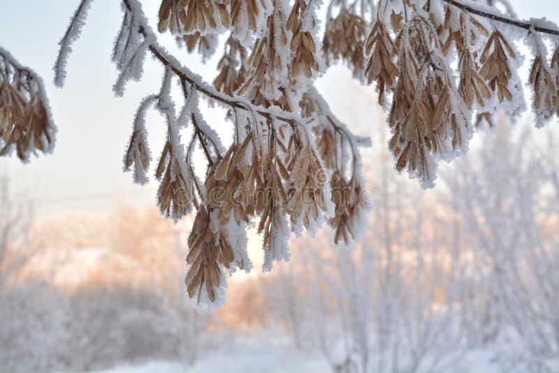 Park van de de gangsteeg van de de winter frosen het zonnige dag de sneeuw hoar vorst van de esdoornboom royalty-vrije stock afbeeldingen