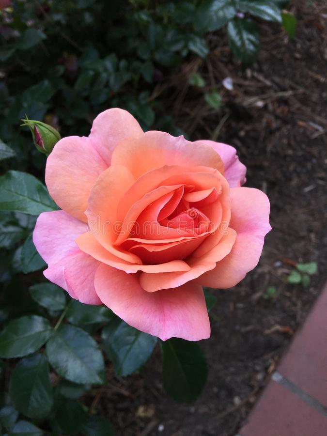 Park von Rosenblumen lizenzfreies stockbild
