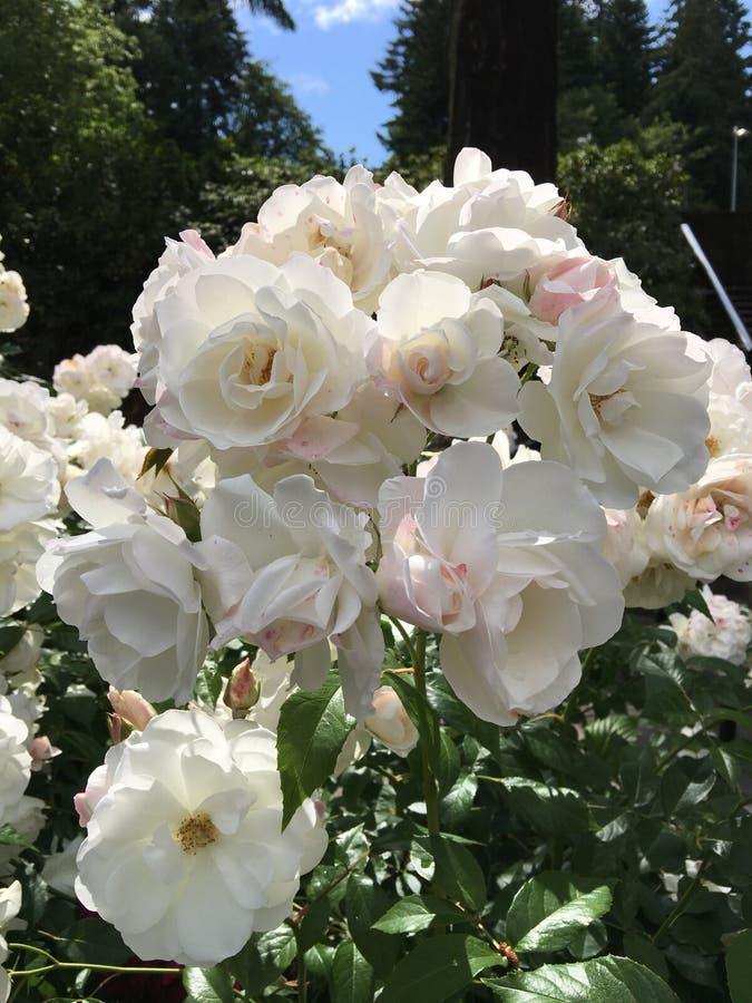Park von Rosenblumen lizenzfreies stockfoto