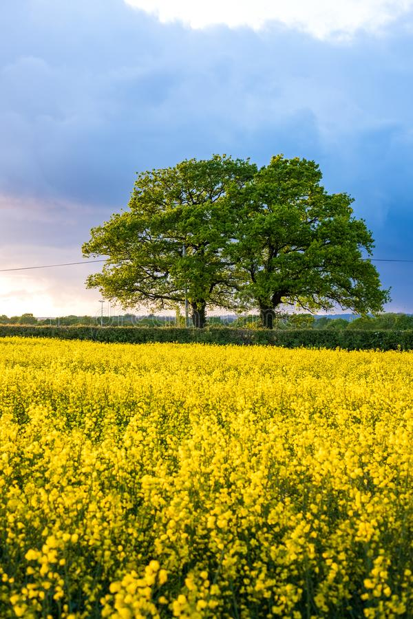 Rapeseed field during sunset  blue skies stock images