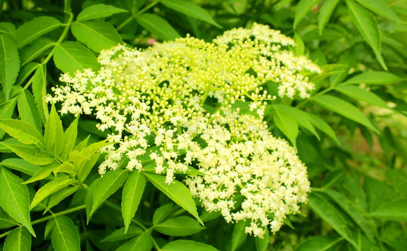 Parkera dekorativa blommor i den chettiar kodaikanalen parkerar fotografering för bildbyråer