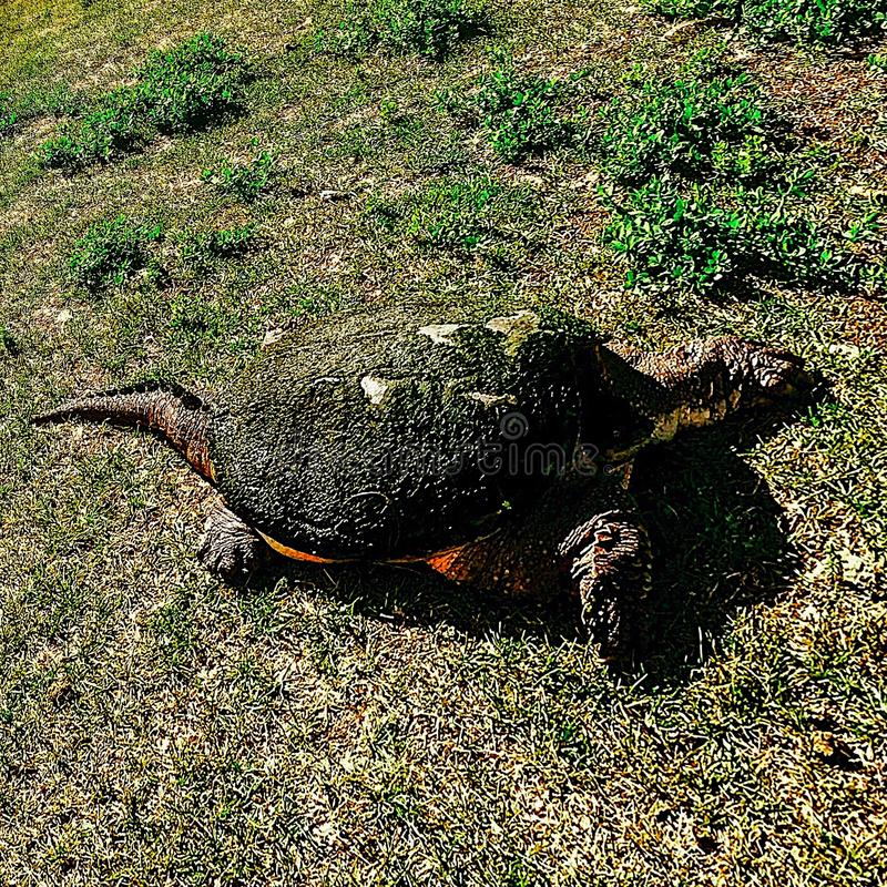 Parkera den lösa sköldpaddan royaltyfria foton