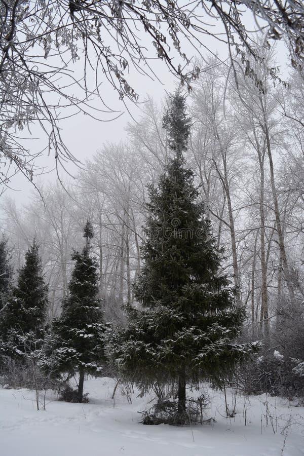 Parkera i vinter Gränd med granar som täckas med snö och popplar på bakgrunden royaltyfri bild