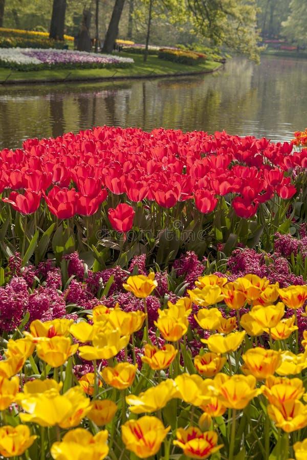 Parkera med holländska tulpanfält för beautifup royaltyfri foto