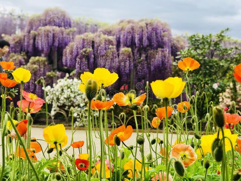 Parkera, när våren kommer i den Ashikaga blomman royaltyfria bilder