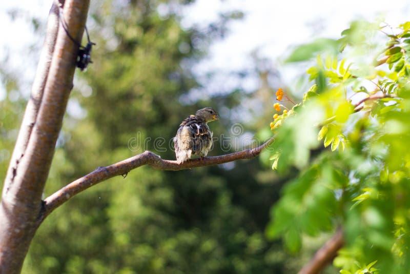 Parkerar den pied flugsnapparen för fläckig brun juv som sitter på en trädfilial med gröna sidor i close upp Fågelungefåglar från arkivfoton