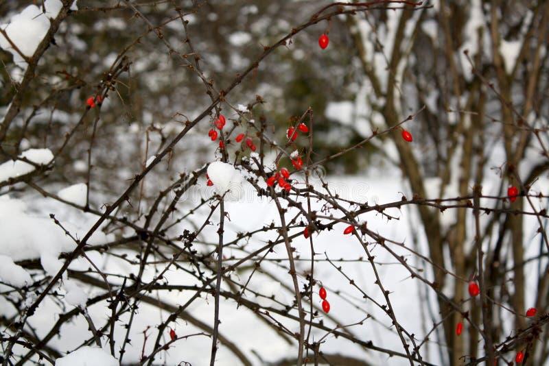Parkerar den rosa busken för hunden i vinter arkivfoton