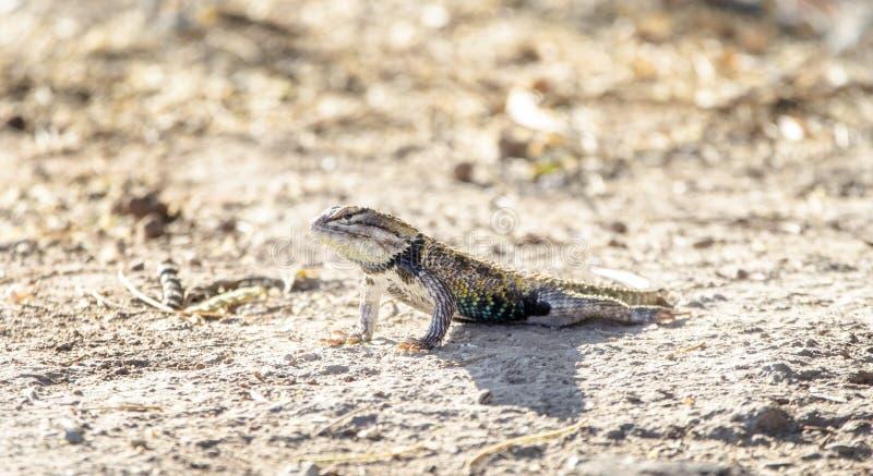 Parkerar den taggiga ödlan för öknen, Sweetwater våtmarker, Tucson Arizona USA fotografering för bildbyråer