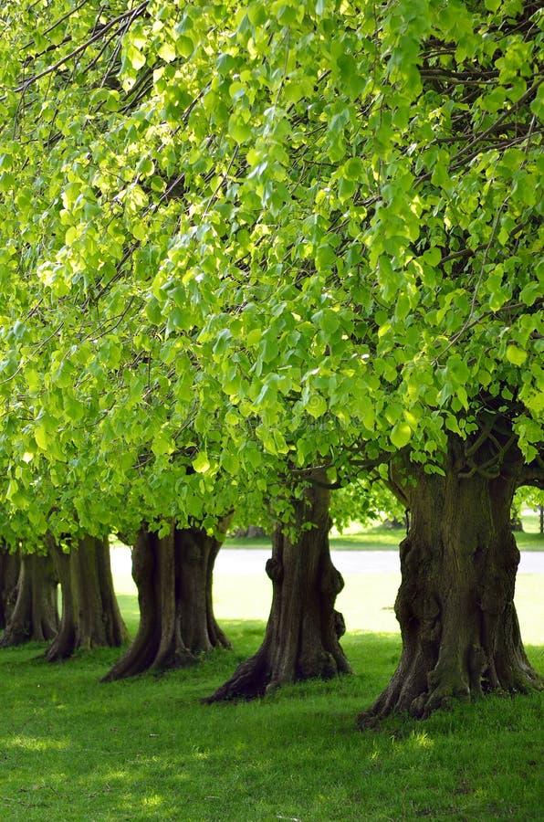 Parkerar det härliga trädet fodrade avenyn på Lyme, Disley, Stockport, UK royaltyfri foto