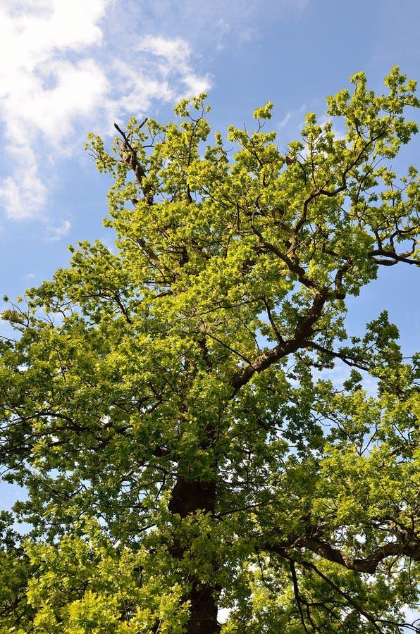 Parkerar det härliga trädet fodrade avenyn på Lyme, Disley, Stockport, UK arkivfoton