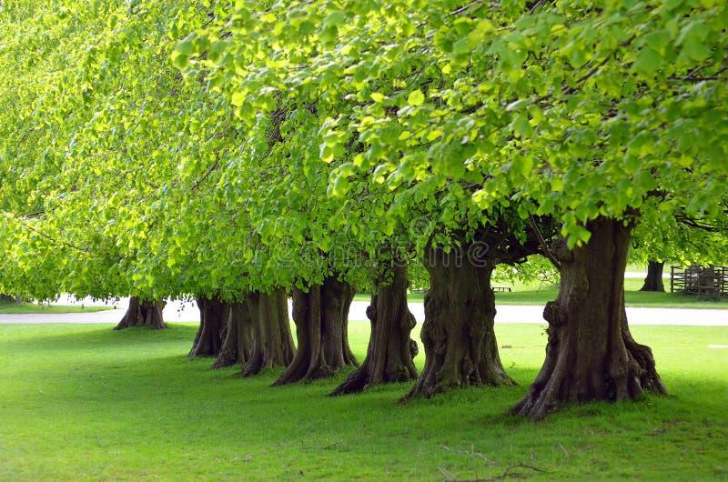 Parkerar det härliga trädet fodrade avenyn på Lyme, Disley, Stockport, UK royaltyfria bilder