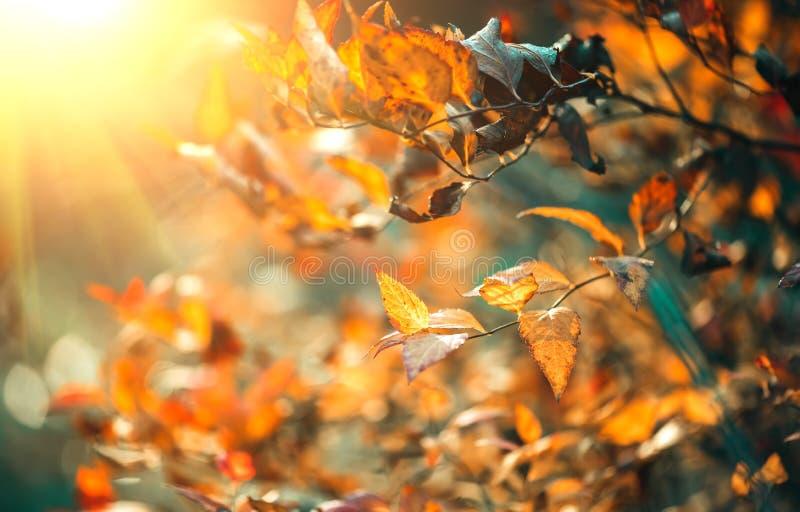 Parkerar färgrika ljusa sidor för hösten som svänger på en ek i höstligt Nedg?ngbakgrund arkivbilder