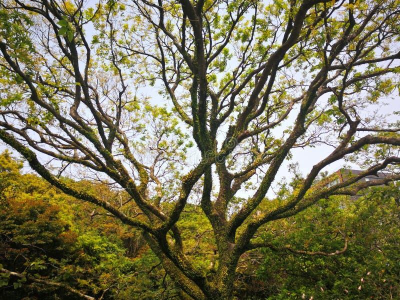 parkerar fördelande filialer för träd brett i skogen på vårdagen i Hong Kong, Victoria Park arkivbilder