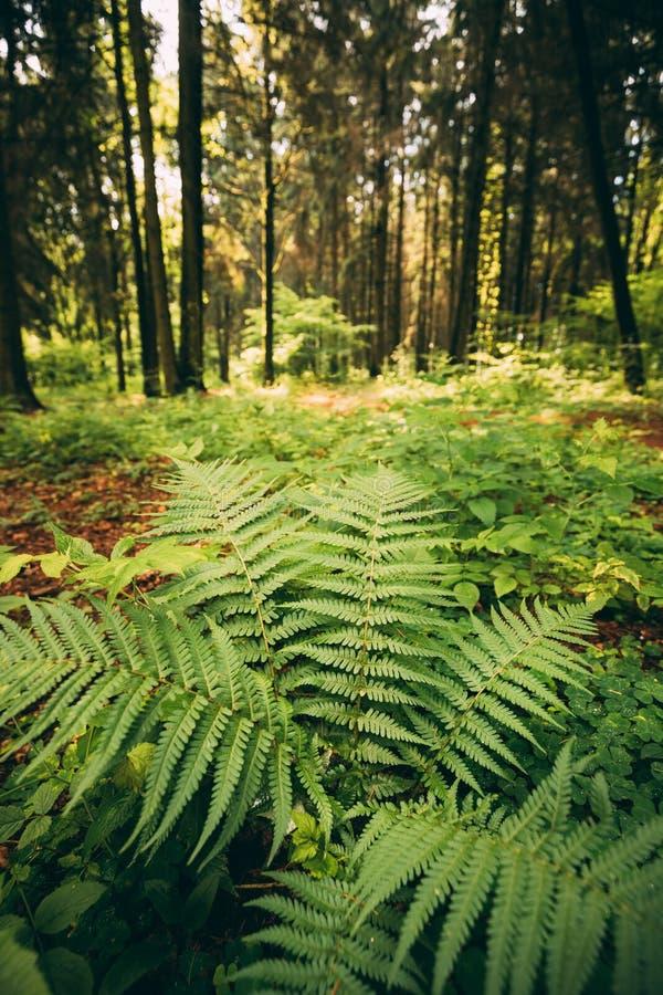 Parkerar grön lövverk för ormbunkesidor i sommar barrträds- Forest Green Fern Bushes In mellan trän, royaltyfria foton
