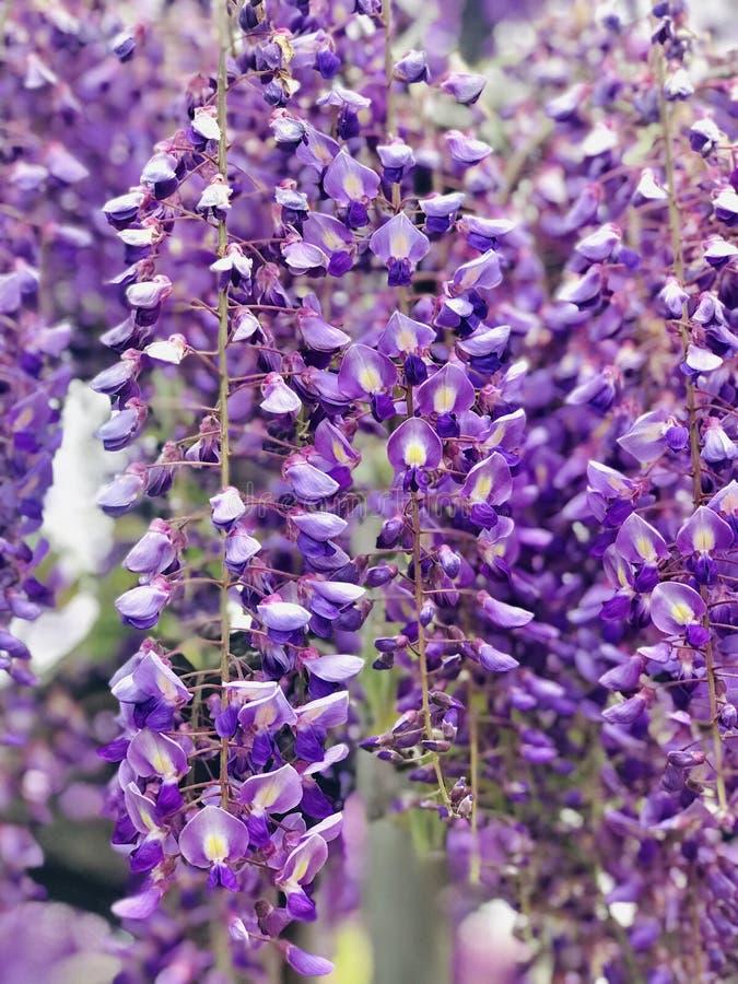 Parkerar oavkortad blom för wisteriaen på den Ashikaga blomman arkivfoton