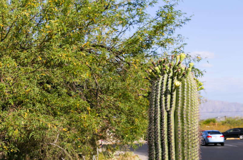 Parking near nature. Parking lot with saguaro cactus and tree in Arizona, USA stock photography