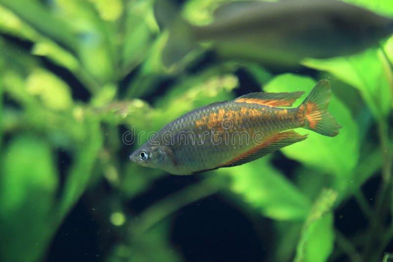Parkinson rainbowfish. Floating in water royalty free stock photo