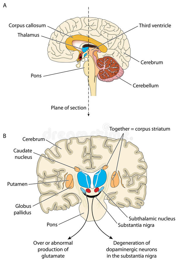 Groß Das Gehirn Markierte Diagramm Bilder - Anatomie und Physiologie ...