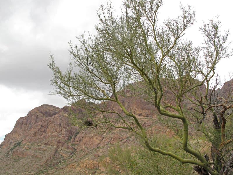 Parkinsonia, Palo Verde w Organowej drymby Kaktusowym Krajowym zabytku, Arizona, usa zdjęcie stock