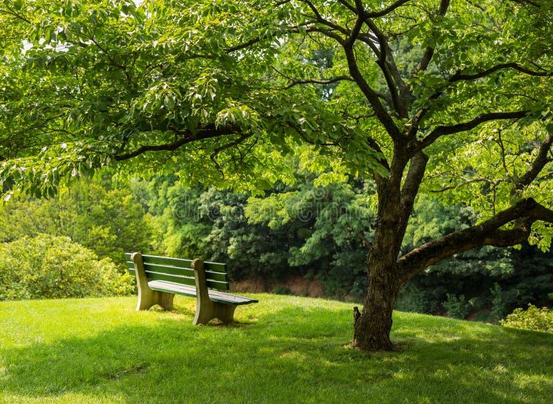 Parkowa ławka pod kwiatonośnym dereniowym drzewem zdjęcie stock